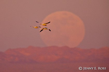 Snow Geese and Full Moon Rising at Sunset
