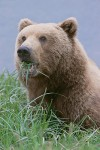 Brown Bear Eating Sedges