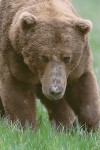 Adult Male Brown Bear