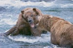 Territorial Confrontation Between Adult Male Brown Bears