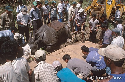 Relocating a Tranquilized Rhinoceros