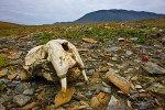 Skull of a Pacific Walrus Lying on Arctic Tundra