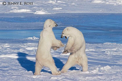 Adult Male Polar Bears Sparring on Sea Ice