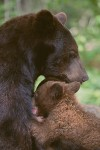 American Black Bear Mother Nursing Cubs