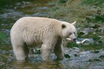 Kermode (Spirit Bear) Catching a Salmon