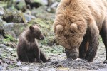 Brown Bear Mother Clamming with Young Cub