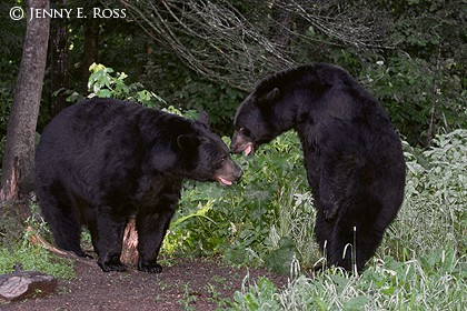 An Unexpected Encounter Between Adult Male American Black Bears