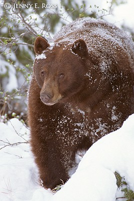 American Black Bear Emerging From Den in Snow