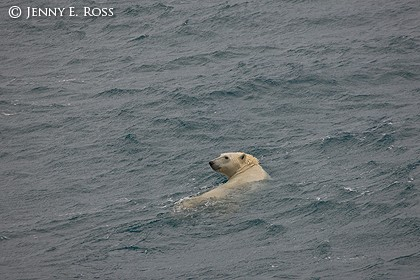 Polar Bear Swimming in the Chukchi Sea