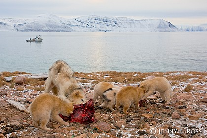 Greenland sled dogs (female and her puppies) eating walrus meat