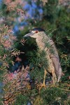Black-Crowned Night-Heron (Nycticorax nycticorax), adult