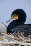 Double-Crested Cormorant (Phalacrocorax auritus albociliatus), adult on nest