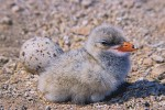 Caspian Tern (Sterna caspia), chick and unhatched egg