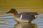 Green-Winged Teal (Anas crecca), adult male