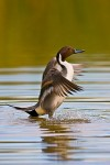 Northern Pintail (Anas acuta), adult male