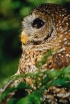 California Spotted Owl (Strix occidentalis occidentalis)