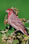 House Finch (Carpodacus mexicanus), adult male