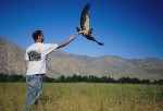 Scientist releasing a Swainson's Hawk (Buteo swainsoni) after banding it