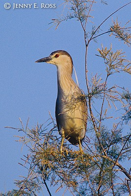 Black-Crowned Night-Heron (Nycticorax nycticorax), immature, first summer