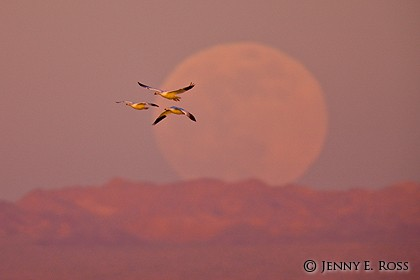 Snow Geese (Chen caerulescens) with moonrise at sunset