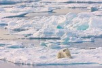Adult female polar bear resting on sea ice next to an open lead
