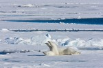 Subadult polar bear cleaning his fur by rubbing on snowy sea ice