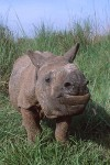 Asian Rhino Calf