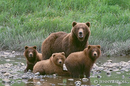 الدب  البني معلومات وصور Brown+Bear+Family