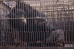Asiatic Black Bear Rescued From a Bile Farm