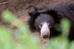 Glimpse of the Sloth Bear