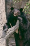 The Asiatic Black Bear #1