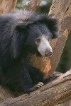 The Sloth Bear #1