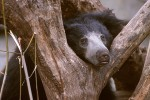 The Sloth Bear #3