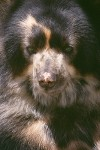 The Spectacled Bear #1