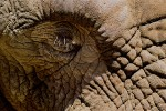 Face of the African Elephant