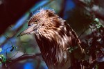 Fledgling Black-Crowned Night-Heron (Nycticorax nycticorax)