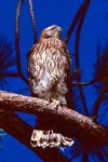 Fledgling Northern Goshawk (Accipiter gentilis)