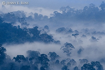 Rainforest in Fog, Borneo