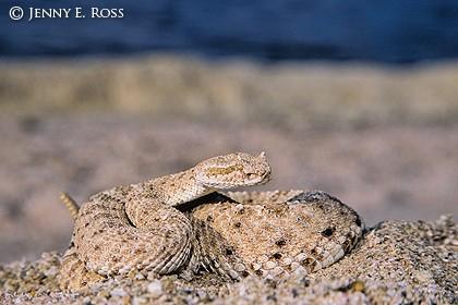 Colorado Desert sidewinder rattlesnake ( Crotalus ceras